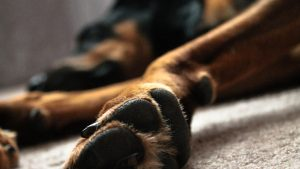 A doberman's paws as seen from the side, laying down